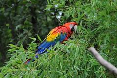 Hellroter Ara im Parc zoologique de Champrepus