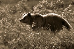Animal - Grizzly Bear - Alaska