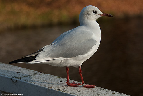 Black-headed Gull, 24cy, M[Arnhem 3431.752]