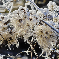 Clematis at winter time ,no. 103 details.