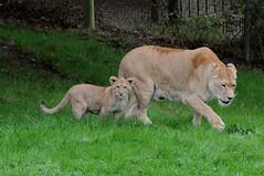 Afrikanische Löwen im Tierpark CERZA in der Normandie