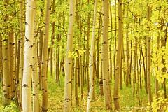 Colorado Fall Foliage Aspen Landscape