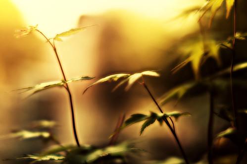 Golden Maple by Matt Hovey