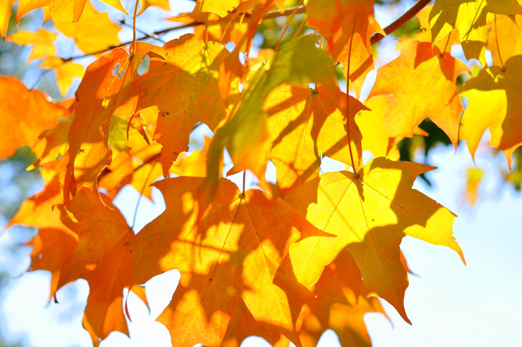 Yelloworange maple