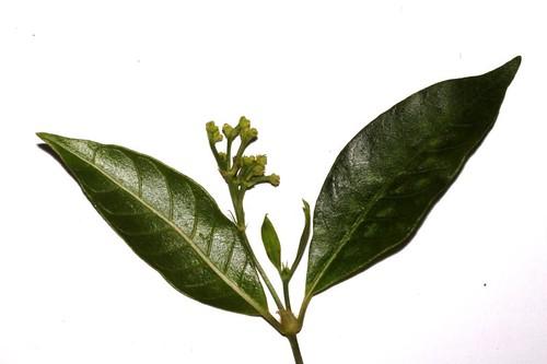 Psychotria sp. Danbulla