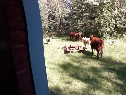 Cows In the Yard by Karyn Ellis