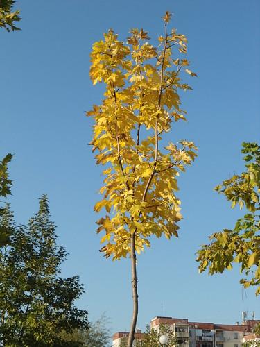 Autumn tree by rmassart