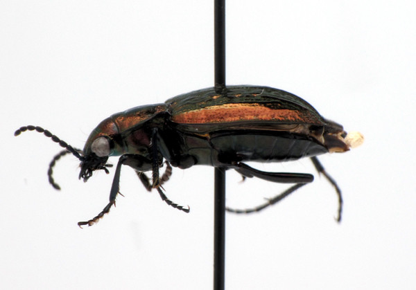 Blethisa catenaria, a ground beelte (Carabidae)