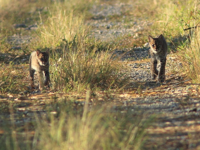 Bobcat cub and adult 7-20111103