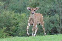 Java-Banteng im Tierpark CERZA  bei Lisieux in der Normandie