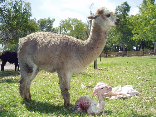 Cria in cush position
