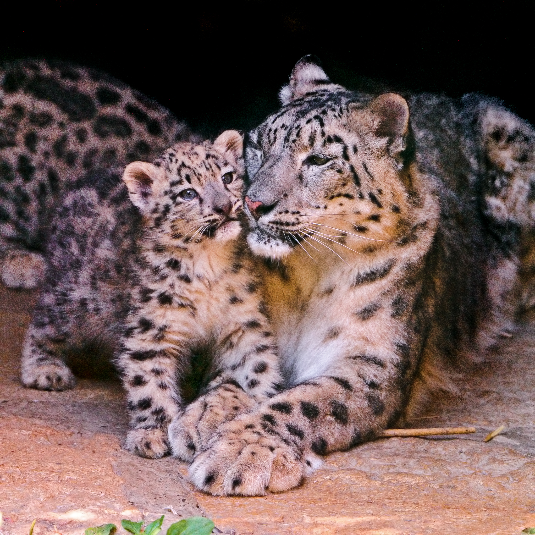 Mother And Cub Flickr