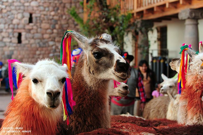 Colorful Llamas The Llama Lama Glama Is A South