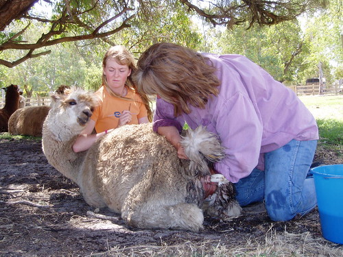 Alpaca with dystocia
