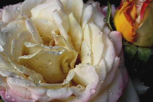"""Nestled"" peace rose photo copyright Jen Baker/Liberty Images; all rights reserved. Pinning to this page is okay."