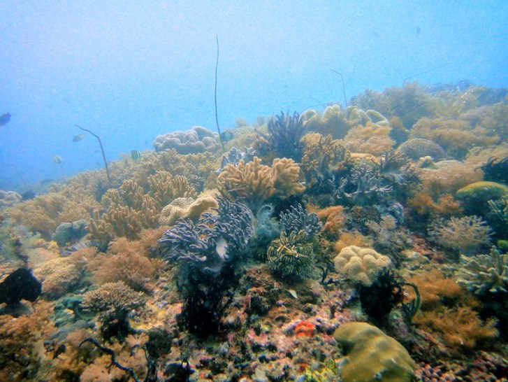 Brown soft corals on Quiliano Reef, Malapascua