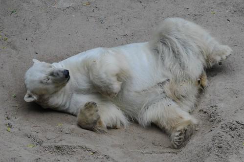 Eisbär Umka im Zoo Brno