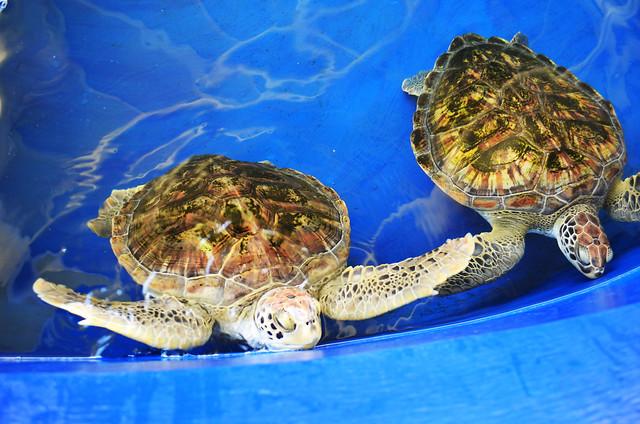 Biosfera Fuerteventura colabora con Puerto PRincipe en la reintroduccion de la tortuga carey.