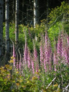 foxglove with birch branches