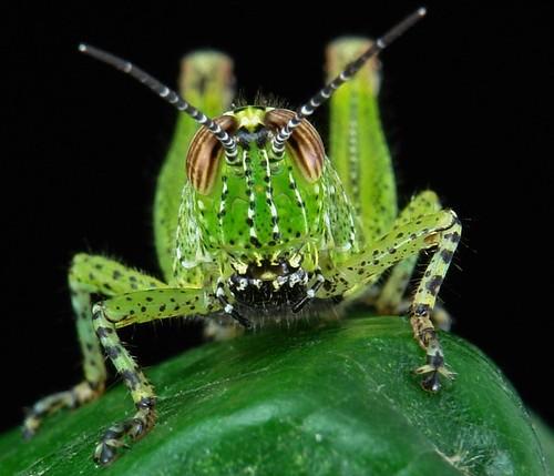 Juvenile Grasshopper (Locustidae)