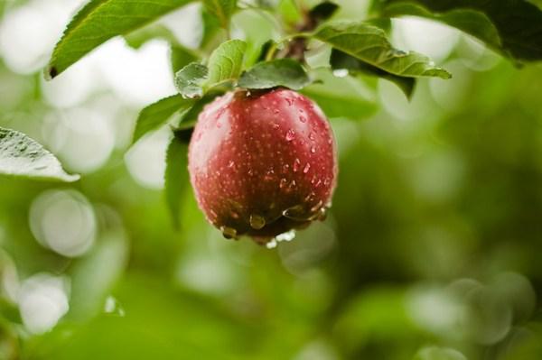 Apple Picking (16 of 36).jpg