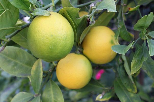 lemonsorlimes