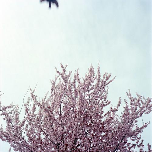 blossombird