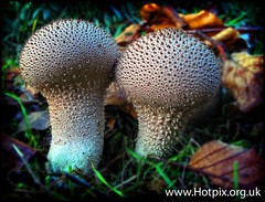 iPod Shuffle2 - Funghi [Grappenhall Heys Puffball mushrooms, England, UK]