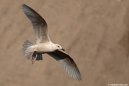 European Herring Gull, 1cy, leucistic (brown abbaration)