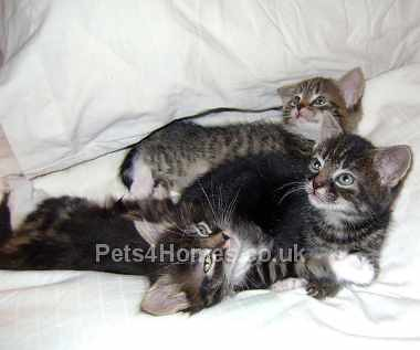 small_Abyssinian-Cats-9684