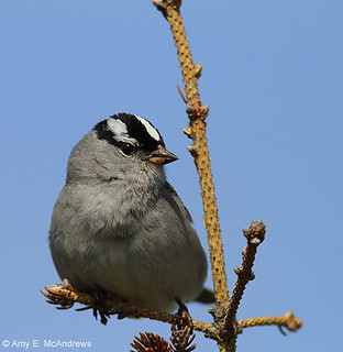 White-crowned Sparrow at L'Anse aux Meadows, Newfoundland