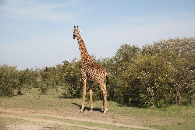 Giraffes (8)