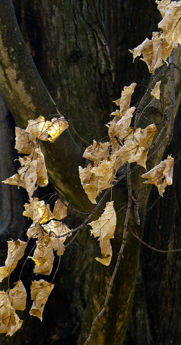 Old Leaves, Young Light, Pangborn Park, Hagerstown, Maryland, March, 2012