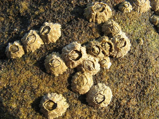 Acorn barnacle (Semibalanus balanoides)