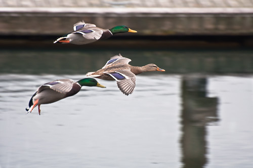 "Duck Squadron ""Final Approach!"""