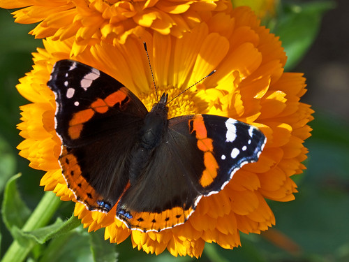 Butterfly ~ Red Admiral