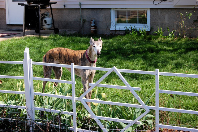 Aging greyhound looking over fence that divides flower gardens from vegetable garden
