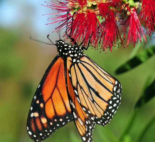 Majestic Monarch pr