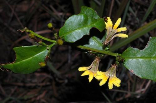 Scaevola enantophylla