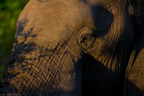 African Elephant Closeup