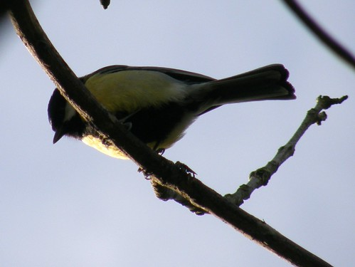 Great tit again