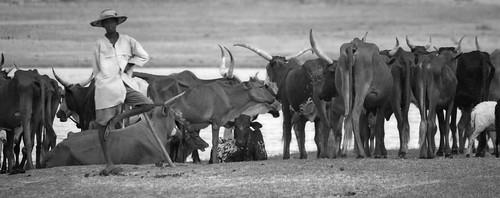 Livestock herding in Niger