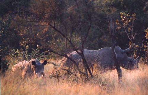 rinoceronte g