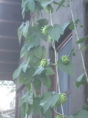 hops are growing good - 06