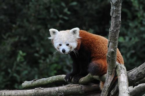 Roter Panda Nyima im Zoo de Trégomeur