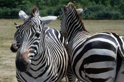 zebras: toronto, zoo safari