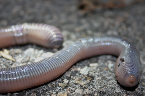 Very Large Earthworm (Amynthas aspergillum 參狀遠環蚓 or Amynthas robustus 壯偉遠環蚓?)