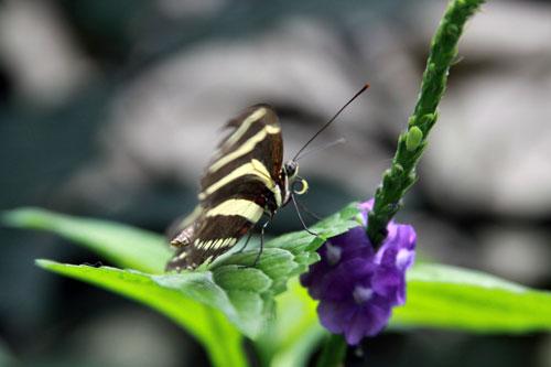 striped butterfly, niagara falls ontario canada