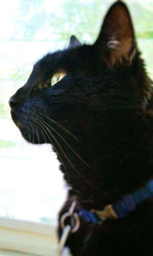 Black cat looking up while on screened in porch