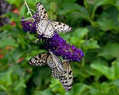 Rice Paper Butterflies (Barry's)